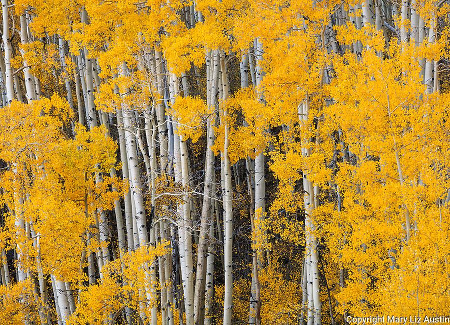 Boulder Mountain, Dixie National Forest, Utah: Aspen grove in autumn