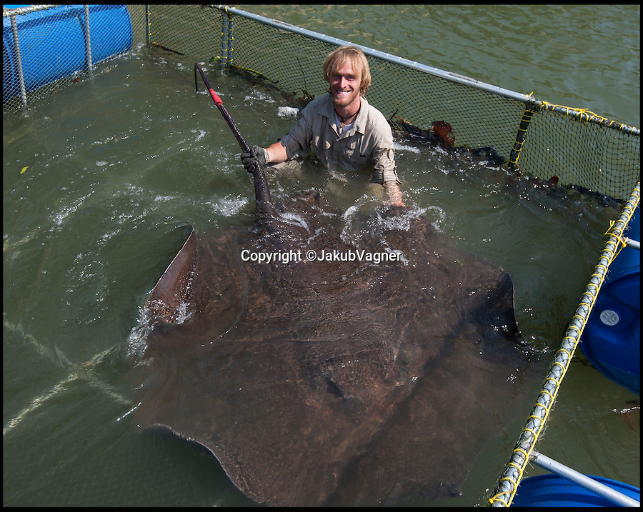 BNPS.co.uk (01202 558833)<br /> Pic: JakubVagner/BNPS<br /> <br /> Extreme angler Jakub Vagner lived up to his nickname of Big Fish Man by catching this giant freshwater stingray that weighed as much as fully grown lion. <br /> <br /> Jakub, who presents a Discovery Channel show in big fish, hauled the 400lbs ray out of the Mae Klong River in western Thailand after a gruelling hour long battle.<br /> <br /> The 6ft wide stingray was caught so that marine conservationists could tag it and take samples before safely returning it to the wild.