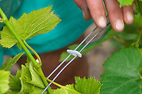The vineyard in the garden behind the house. A plastic clip that holds together two of the metal wires that support the vine. These are put in place and removed manually by hand every year., Champagne Jacquesson in Dizy, Vallee de la Marne, Champagne, Marne, Ardennes, France