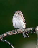 Spotted Flycatcher Muscicapa striata - First winter. L 14cm. Charming, perky bird with unremarkable plumage. Recognised by upright posture and habit of making insect-catching aerial sorties from regular perches. Sexes are similar. Adult has grey-brown upperparts, streaked on crown, and pale greyish white underparts heavily streaked on breast. Juvenile is similar but has pale spots on back and dark spots on throat and breast. Voice Utters a thin tsee call. Song is simple and includes thin, call-like notes. Status Widespread summer visitor to open, sunny woodland, parks and gardens; often nests around habitation.