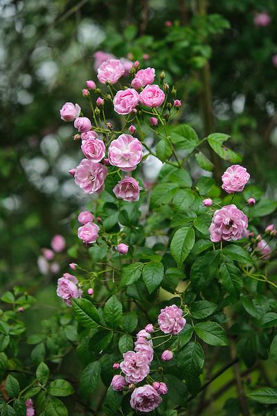Rosa 'Belvedere' rambler
