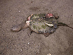 Dead snapping turtle crushed by vehicle