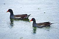 Common gallinule, Morton Lake, Lakeland, Florida