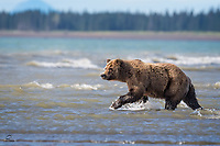 Coastal Brown Bear prowls the shallows, in search of salmon.  The tide is coming in but there were plenty of fish.  She caught a few on this afternoon.