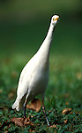 Cattle Egret, Bubulcus i. ibis, head on view, neck stretched, West Africa. .Gambia....