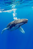 humpback whale, Megaptera novaeangliae, blowing underwater, Hawaii, USA, Pacific Ocean