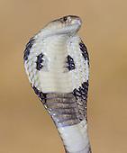 Monocled Cobra - Naja kaouthia