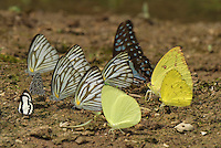 Different Butterflies (Pieridae, Papilionidae, and Lycaenidae) drinking  from wet ground, Kheaun Sri Nakarin National Park, Thailand