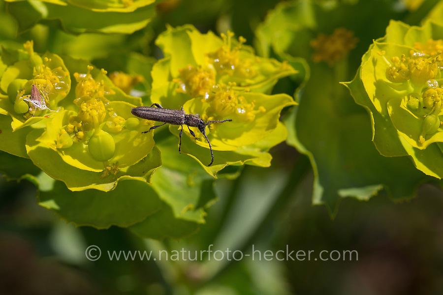 Bockkäfer, Blütenbesuch, Deilus fugax, Dilus fugax, Longhorn beetle