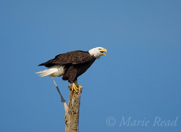 Bald Eagle (Haliaeetus leucocephalus) adult calling, Viera Wetlands, Florida, USA