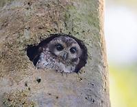 A Bare-legged Owl peers from a woodpecker created tree-cavity.