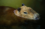 Capybara (Hydrochaeris Hydrochaeris) - captive, swimming in water, South America .Venezuela....