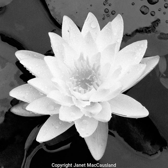 Fragrant Waterlily - square