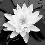 Fragrant Waterlily - square