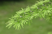 Golden Larch Pseudolarix amabilis Height to 35m.Deciduous conifer tree.  Native to China but sometimes planted for its autumn colour. Leaves are needles, 3-5cm long, bright green in spring and summer, turning golden in autumn. Cones resemble miniature globe artichokes.
