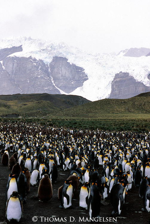 A king penguin colony in Gold Harbour in South Georgia.