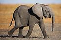 Botswana, Chobe National Park, Savuti,  African elephant calf (Loxodonta africana) running on Savuti Marsh