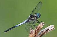 389130002 a male gray-waisted skimmer dragonfly cannaphila insularis a rare odonate found in breckenridge park san antonio texas