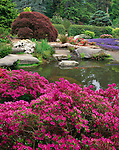 Kubota Garden, Seattle, WA<br /> Spring blooming azaleas with purple flowering ajuga and Japanese maples surround the ponds in the Tom Kubota Stroll Garden