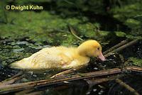 DG12-036x  Pekin Duck - seventeen day old duckling eating material in pond