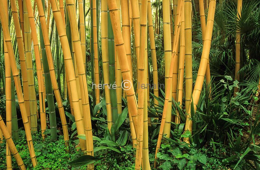 06/ Jardin botanique &quot;Les Cèdres&quot;<br /> Bois de bambous (Phyllostachys sulphurea 'Robert Young' et Phyllostachys sulphurea var. viridis)