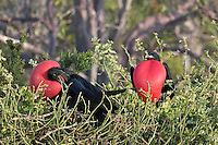 Frigate Birds<br />