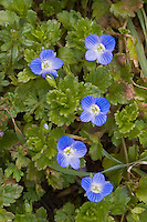 Persischer Ehrenpreis, Veronica persica, birdeye speedwell, common field-speedwell, Persian speedwell, large field speedwell, bird's-eye, winter speedwell, La Véronique de Perse, Véronique commune