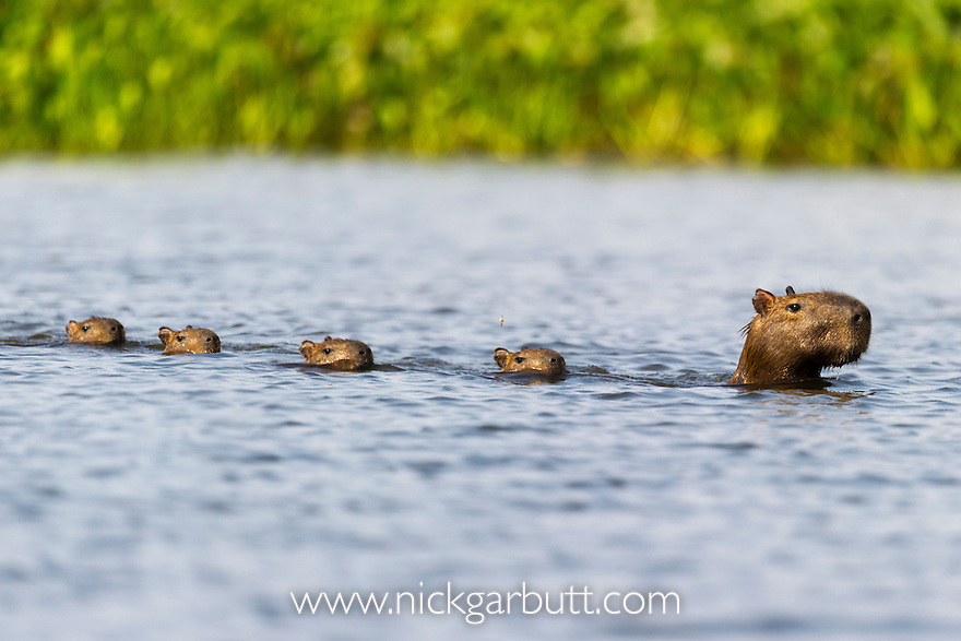 Capybara with young | Nick Garbutt