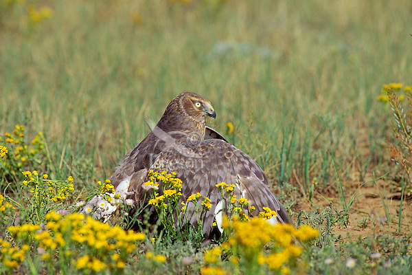 Northern Harrier (Circus cyaneus) tenting food.  Tenting blocks the view of other birds so that they do not see the food and thus try to steal it.  Western U.S.