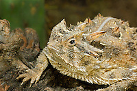 437850014 a wild texas horned lizard phrynosoma cornatum a threatened species sits on a dead mesquite branch in the rio grande valley of south texas