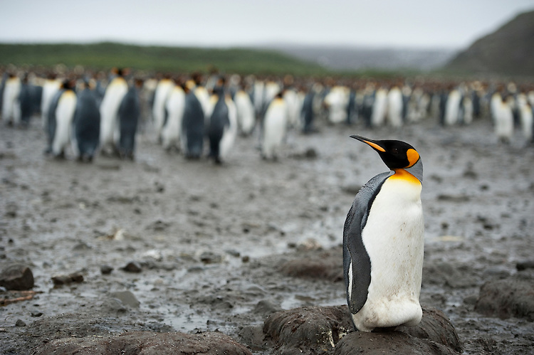 A solitary King Penguin (Aptenodytes patagonicus) standing in front of large colony , South Georgia
