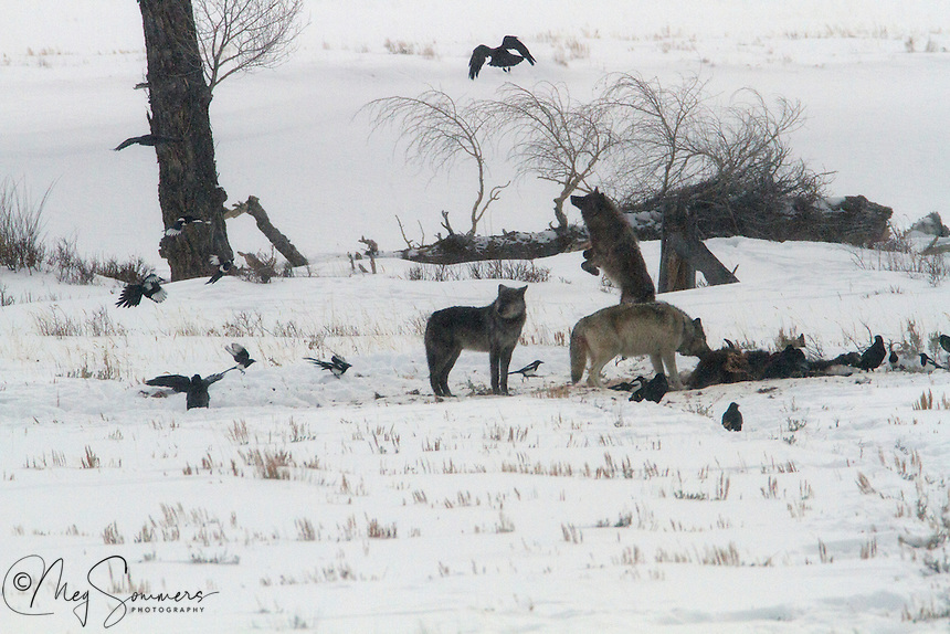 Wolves (Canis lupus) feeding on a bison carcass, really don't like ravens pestering them while they are there. Only the younger wolves are willing to spend the energy to do anything about it however!<br />