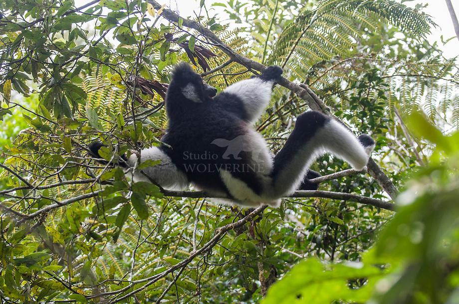 Indri (Indri indri) Andasibe, Madagascar