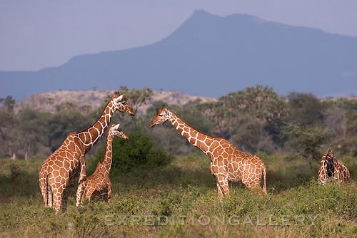 Three reticulated giraffes looking at each other. Samburu National Reserve, Kenya.