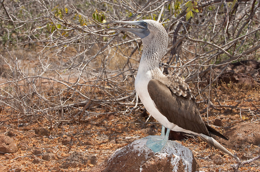 North Seymour Island, Galapagos, Ecuador; a Blue-footed Booby (Sula nebouxii) bird stands on inland rocks in search of a mate , Copyright © Matthew Meier, matthewmeierphoto.com All Rights Reserved