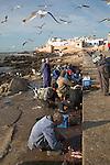 Seagulls swoop as men gut freshly caught fish, Essaouira, Morocco