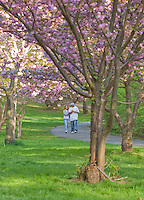 Cherry Blossom Trees in bloom, Branch Brook Park, Newark, Essex County, New Jersey