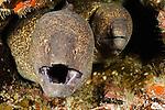 A pair of Yellow-edged Moray Eels (Gymnothorax flavimarginatus) in a coral crevice, Hawaii, USA.
