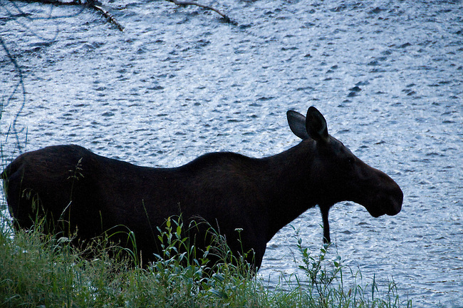 moose, cow, Alces alces, wildlife, mammal, Colorado River, summer, August, nature, evening, Kawuneeche Valley, Rocky Mountain National Park, Colorado, USA
