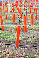 Yong vine in Guyot double or young cordon Royat with shielding and irrigation Bodega Del Fin Del Mundo - The End of the World - Neuquen, Patagonia, Argentina, South America