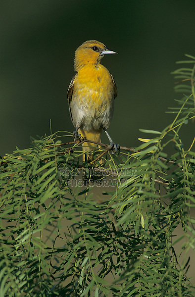 Bullock's Oriole, Icterus bullockii, immature male on blooming Mesquit tree, Starr County, Rio Grande Valley, Texas, USA