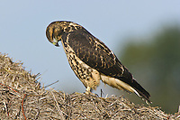 Swainson's Hawk intensely studying a hay bale
