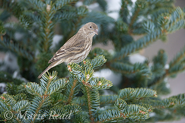 House  Finch (Carpodacus mexicanus) adult female perched in spruce in winter, New York USA