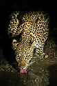 Leopard (Panthera pardus) female drinking at night. South Luangwa National Park, Zambia.
