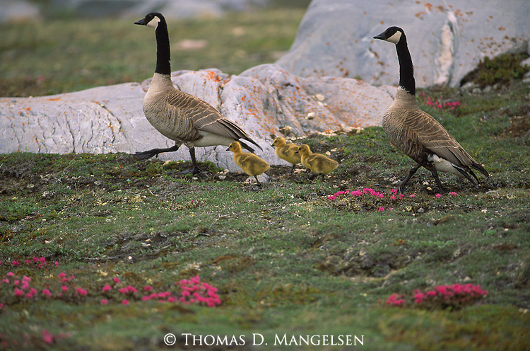 Two Canada Geese and their little goslings stay close to one another as they travel through the green grass and wildflowers.