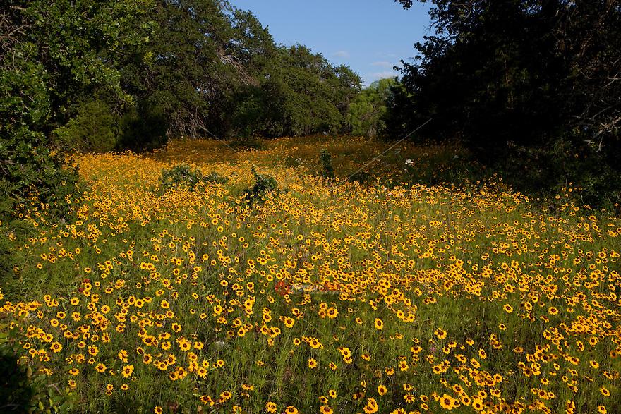Oak trees in field of Coreopsis wildflowers