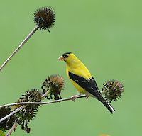 Courtesty photo/TERRY STANFILL<br /> FINCH AT REST<br /> A goldfinch rests on a branch in west Benton County. Terry Stanfill of the Decatur area took the picture on Aug. 7.