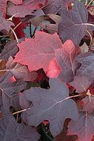 Hydrangea quercifolia 'Amethyst' fall foliage