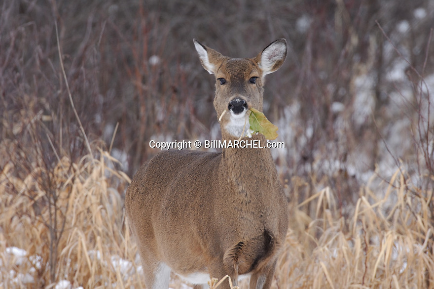 00275-193.07 White-tailed Deer (DIGITAL) doe has leaf of rape plant in its mouth as it feeds in food plot after recent snow.  Hunt.  H3F1