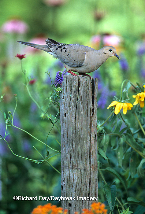 01081-007.14 Mourning Dove (Zenaida macroura) in flower garden Marion Co.   IL